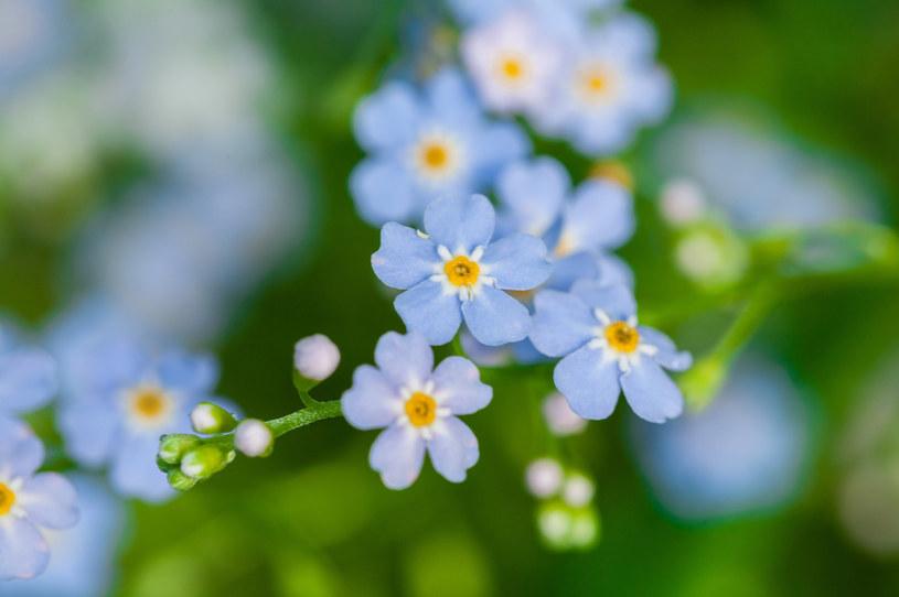 Niezapominajka to jeden z kwiatów dedykowanych zodiakalnemu Rakowi /123RF/PICSEL