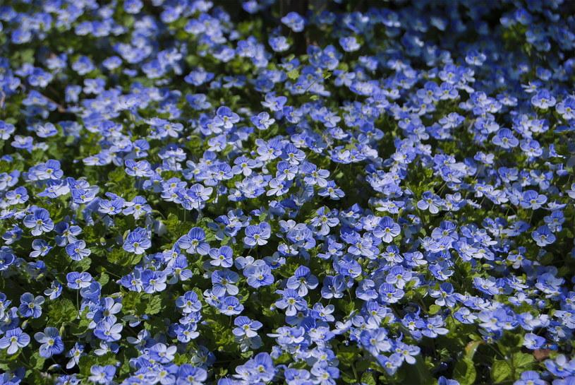 Niezapominajka tworzy piękne dywany /123RF/PICSEL