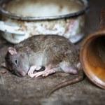 Niezawodny sposób na szczury. Nagranie podbija internet