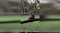 Niezdarność tego misia koala chwyta za serce
