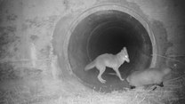 Niezły duet! Kojot i borsuk towarzyszami podróży