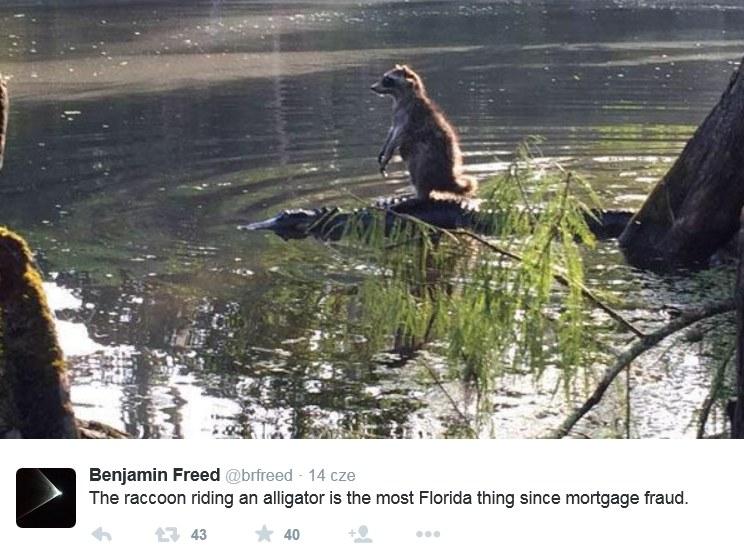Niezwykła podróż szopa na grzbiecie aligatora /Twitter