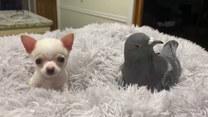 Niezwykła przyjaźń między psem a gołębiem