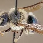 """Niezwykle rzadka pszczoła """"powróciła z martwych"""""""