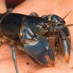 Niezwykle rzadkie raki niebieskie odkryte w Ohio