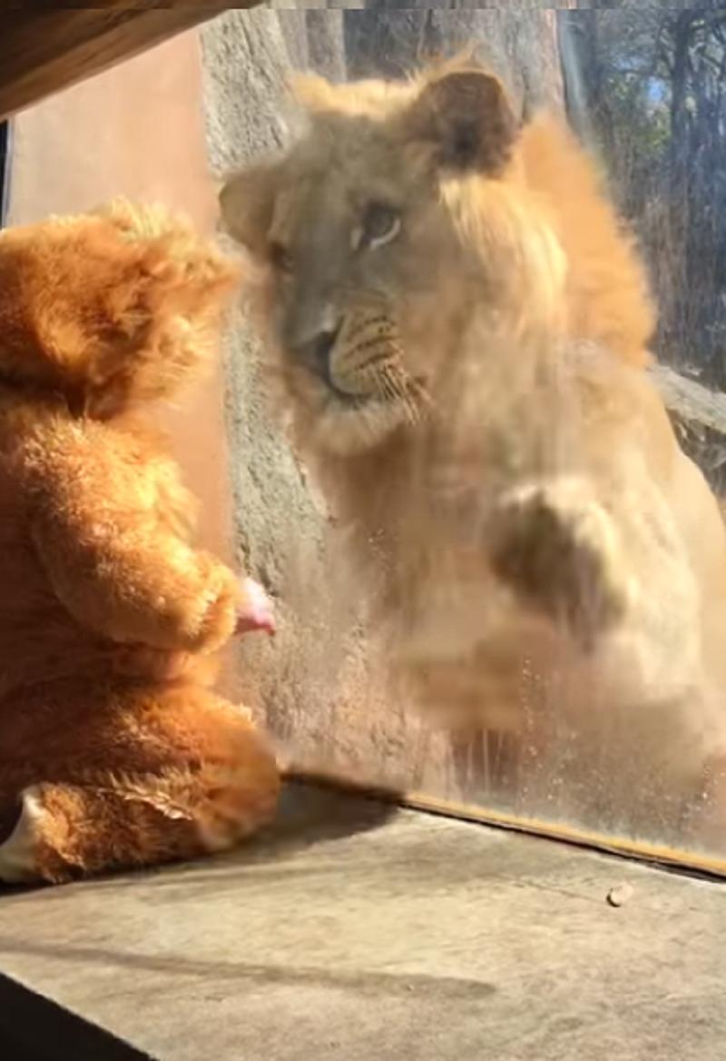 Niezwykłe spotkanie lwa i chłopca /Cami Fanning /YouTube