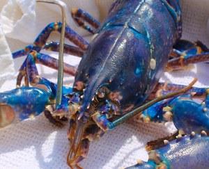 Niezwykły, niebieski homar. Jeden na 200 milionów