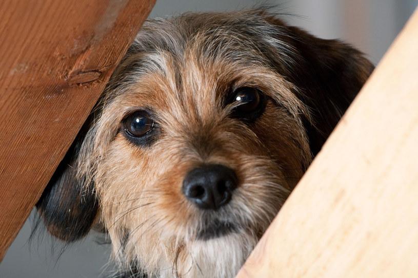 Nigdy nie karz psa za czyny popełnione pod wpływem stresu. W tym trudnym okresie bądźcie dla swoich pupili wyrozumiali /123RF/PICSEL