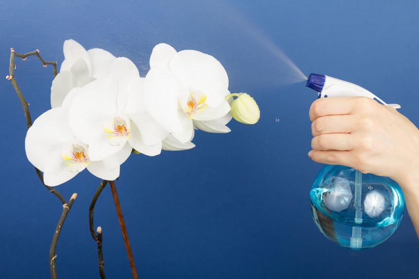 Nigdy nie należy zraszać kwiatów storczyka, bo to je bardzo osłabia /123RF/PICSEL