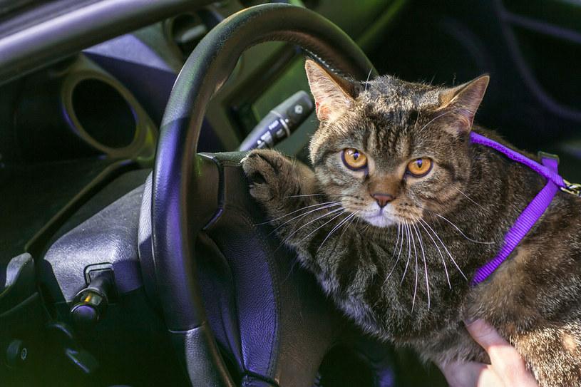 Nigdy nie zamykaj zwierząt w samochodzie /123RF/PICSEL