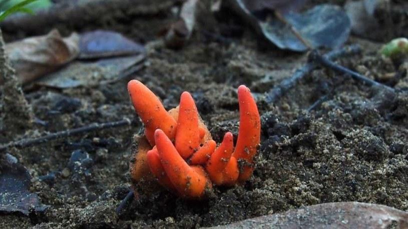 Nikt nie wiedizał, że ten grzyb występuje w Australii /Fot. Ray Palmer /materiały prasowe