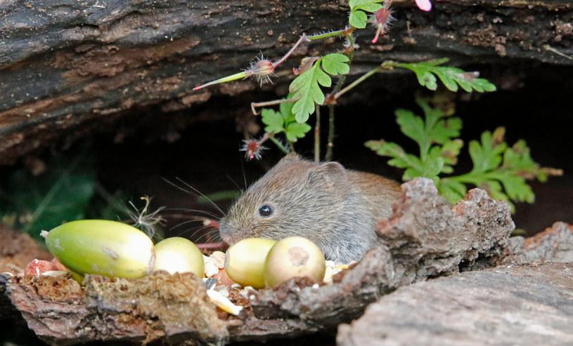 Nornice mogą podgryzać korzenie znajdujących się w ogrodzie roślin /123RF/PICSEL