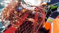 Norwegia. Inwazja krabów królewskich