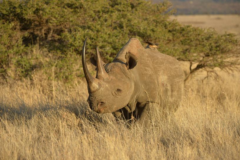 Nosorożec czarny; zdj. ilustracyjne /FLPA/Malcolm Schuyl /East News