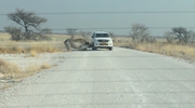 Nosorożec zaatakował samochód z turystami