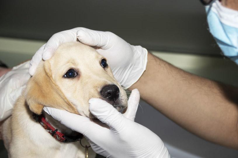 Nosówka to choroba bardzo niebezpieczna dla psów /123RF/PICSEL