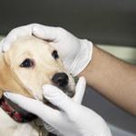Nosówka u psa: Jak się objawia? Jak ją leczyć?
