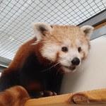 Nowa mieszkanka warszawskiego zoo. Pandka ruda przyjechała ze Szwecji