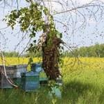 Nowa sieć hoteli w Polsce - dla pszczół i owadów