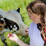 Nowa terapia dla żyjących w stresie. Potrzebna jest... krowa