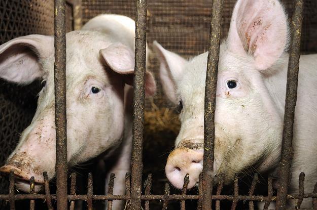 Nowe przepisy o uboju zwierząt /©123RF/PICSEL