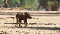 Nowo narodzone słoniątko stawia pierwsze kroki. Urocze