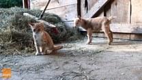 Nowo narodzony koziołek znalazł kocich przyjaciół