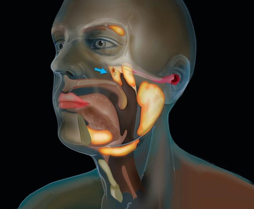Nowo odkryte gruczoły ślinowe /Fot. Holenderski Instytut Onkologii /materiały prasowe