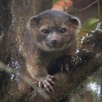 Nowo odkryty drapieżnik z Andów wygląda jak pluszowa maskotka