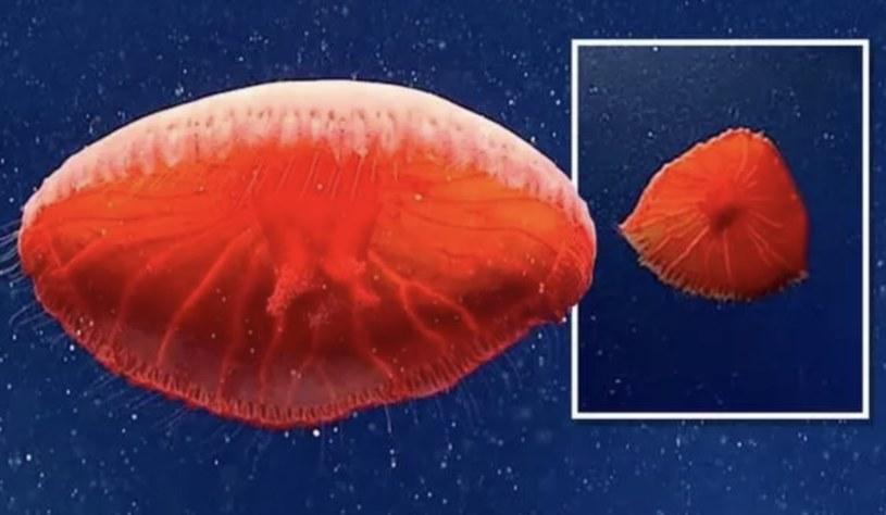 Nowo odkryty gatunek meduzy z rodzaju Poralia /materiały prasowe