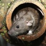 Nowojorskie szczury - tykająca bomba biologiczna
