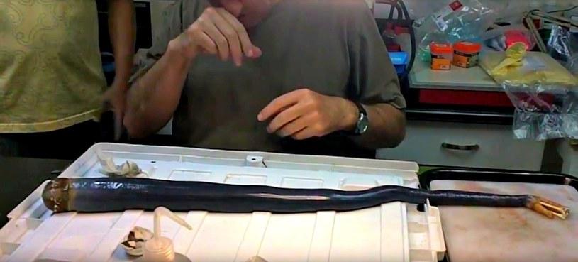 Nowoodkryty gatunek robaka okrętowego jest ogromny! /YouTube