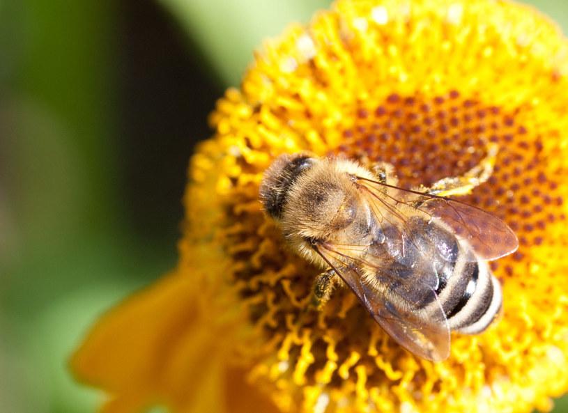 """""""nowością"""" godną zauważenia jest pyłek pszczeli, który z piedestału może strącić niezwykle modny miód manuka /Picsel /123RF/PICSEL"""