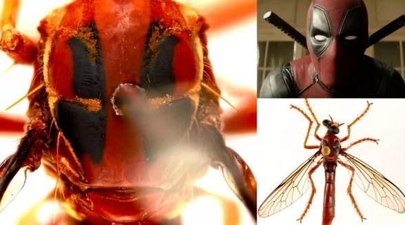 Nowy gatunek muchy nazwany na cześć Deadpoola /materiały prasowe