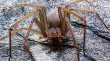 Nowy gatunek pająka z jadem nekrotycznym