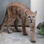 Nowy Jork. 11-miesięczna puma zabrana z mieszkania