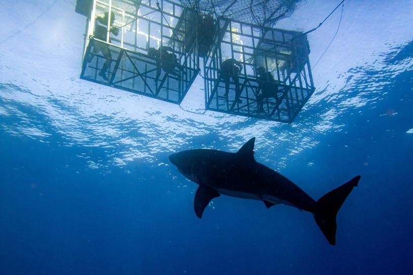 Nurkowanie w klatkach może być niebezpieczne także dla rekinów /123RF/PICSEL