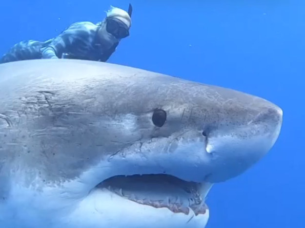 Nurkowie spotkali Deep Blue: największego żarłacza na Ziemi! Zobaczcie niezwykłe filmy!