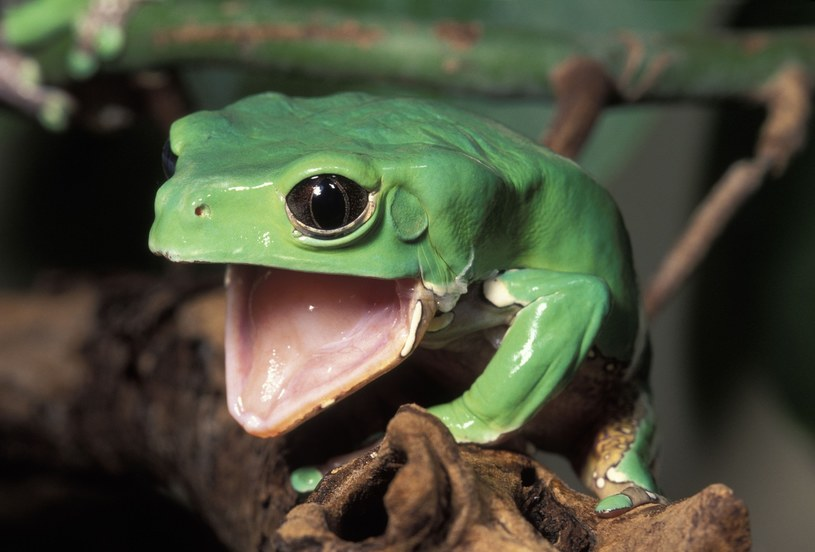 O co chodzi w leczeniu przy użyciu takiej żaby? /East News