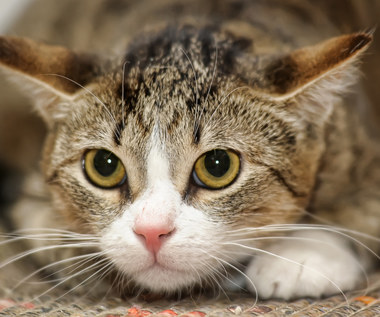 O czym świadczy miauczenie kota?