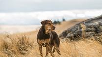 """""""O psie, który wrócił do domu"""" [trailer 2]"""