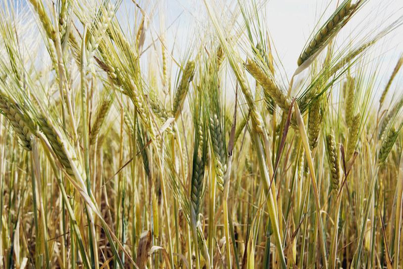 Obecnie około 75 proc. światowych zasobów żywności pochodzi z zaledwie 12 rodzajów roślin uprawnych /© Glowimages