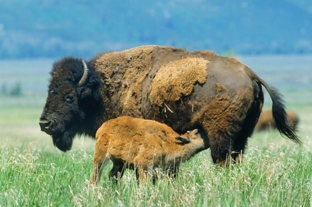 Obecnie w Ameryce Północnej żyje około 500 tys. bizonów /PAP/DPA