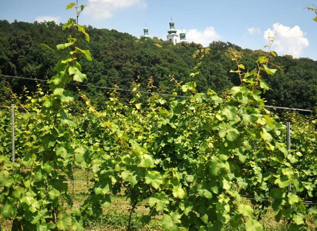 Obecnie w całej Małopolsce jest ponad 100 winnic i wciąż przybywają nowe /123RF/PICSEL