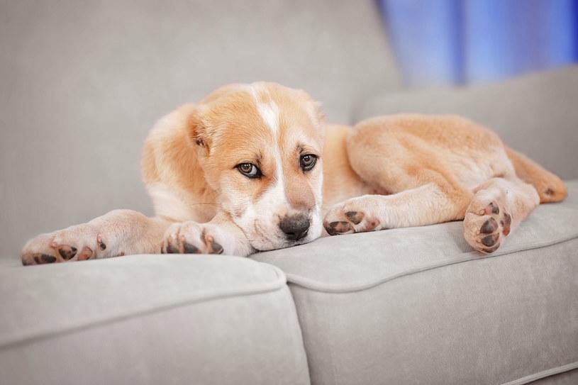 Obecność psa w domu nieuchronnie wiąże się z sierścią - dosłownie wszędzie /123RF/PICSEL