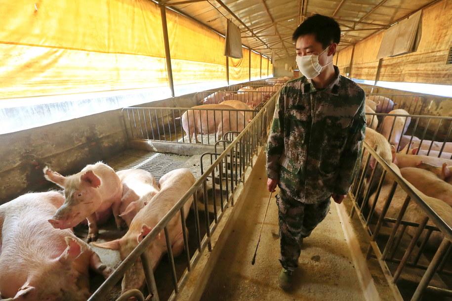 Obecność wirusa wykryto już u niektórych pracowników chlewni /ZHONG MIN /PAP/EPA