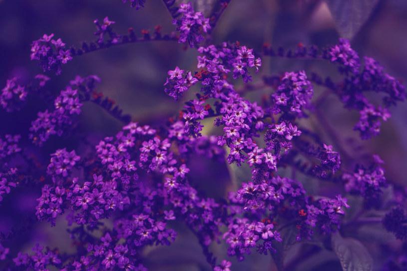 Obfite kwiatostany heliotropu /©123RF/PICSEL