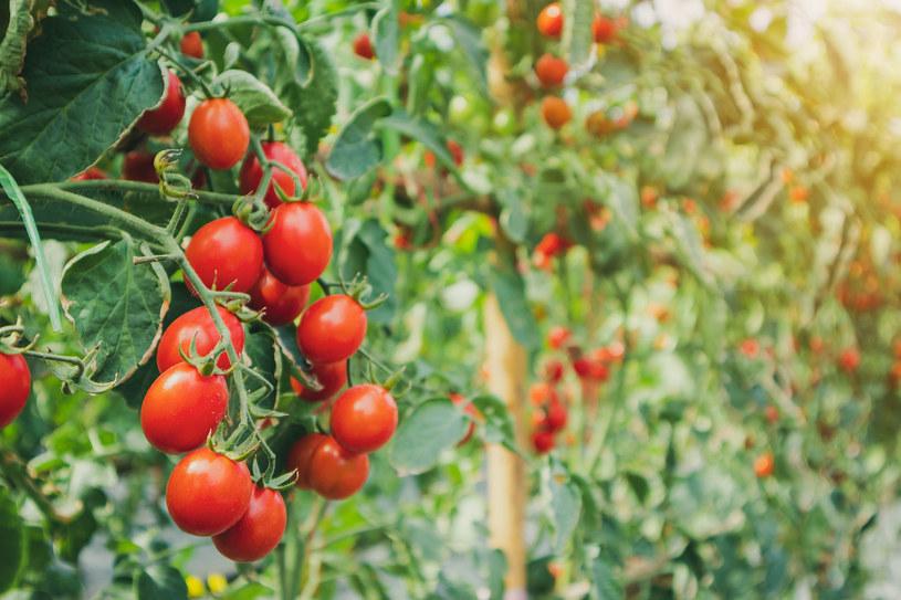 Obok donicy z pomidorem ustaw doniczkę z aksamitką /123RF/PICSEL