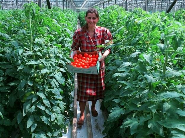 Obowiązek płacenia podatków od nieruchomości jest sporym obciążeniem dla producentów m.in. warzyw /Reporter