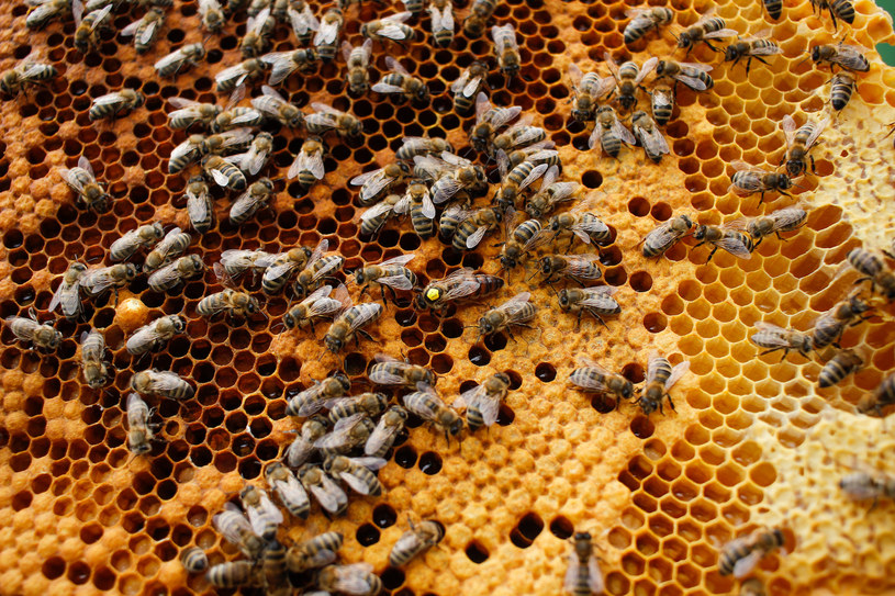 Obserwacja życia i pracy pszczół to ogromna przyjemność! /INTERIA.PL/materiały prasowe